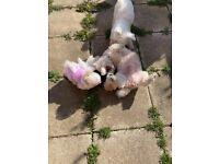 8 Weeks lovely puppy's bichon