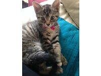 12 week old Kitten very playful + loving looking for her forever home