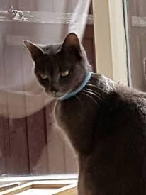 Female Gray cat