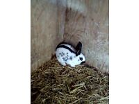 For sale baby rabbits
