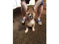 DUE TO TIME WASTERS 2 akita full bred pups. 1 male. 1 female. Mother and father can be seen