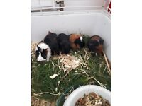 2 baby male guinea pigs for sale!