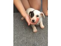 Jackrussel puppy for sale