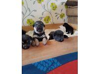 German shepherd x rottweiler puppies