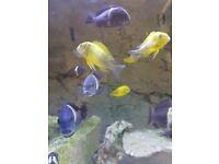 Tropheus cichlids fish