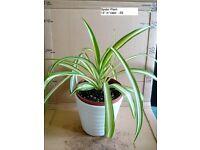Spider Plants in Vases