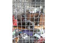 Male chinchilla & cage