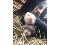 Ferret Kits Male /Female