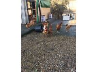 Brown Layer Hens For sale!!! (Lay big eggs)