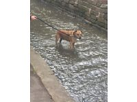 Staffordshire bull terrier looking for a new home