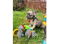 French Bulldog Blue Fawns And Blue & Tans Fully Health Tested HC & DM Clear