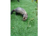 MISSING FERRET Jack male ferret missing from NEW BASFORD