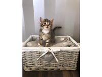 Kittens for Sale. Tabby Boys & Black Girl kitten.