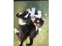 Jackachaw puppies for sale