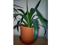 Yucca plants (indoor) from £10 only.