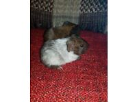 Golden agoutis and agouti roan guinea pigs for sale. Males and females available.