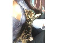 Kittens 10 weeks old