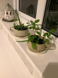 """Green Plants """"TEA FOR TWO """""""