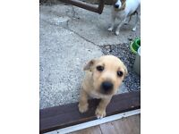 Jack Russell cross patter dale puppy