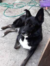 Ollie. 4 yr old dog