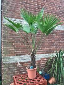 Trachycarpus Wagnerianus £48