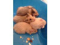 Hamsters and gerbils directly from hobby breeder available now