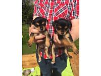Jack Russel and Yorkshire terrier cross puppies