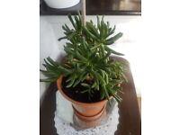 Indoor Mestoklema Plant