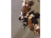 Adorable American bulldog pups