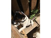Jack Russell Dog - male