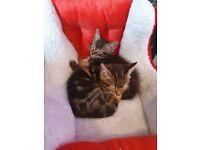 Little male tabby kitten