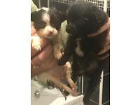Chiuawa puppys