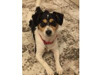 Looking for someone to house our lovely Jack Russell