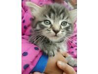 😽😊8 week male SIberian forest kitten...URGENT SALE