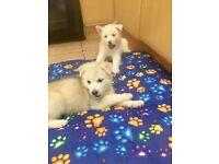 Husky x Akita puppies