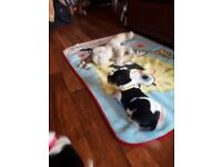 Tri coloured Jack russel puppies for sale