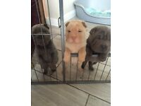 Full pedigree shar pei puppies for sale