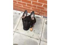 Pup German shephard