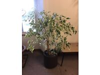 House Plant (over 35 years old)