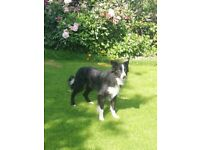 Beautiful friendly Collie Sheepdog