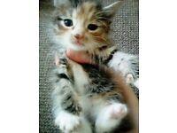 Pure cuteness kittens all girls 2 left