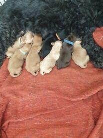 Stunning f1b puppies