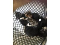 4x kittens 3 black and one tortoise shell