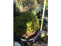 Evergreen potted garden plant
