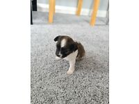 Teacup Chihuahua girl for sale