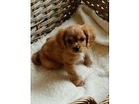 STUNNING RUBY CAVALIERS KING CHARLES PUPPY'S ONLY 2 BOY'S NOW AVAILABLE