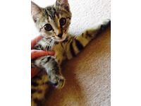 Tabby kitten female