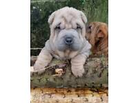Exceptional Miniature Shar Pei Puppies. Only 1 left