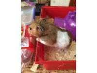 Sweet hamster needs rehoming