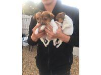Girl Jack Russel puppies